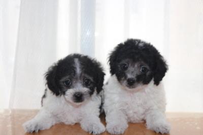 トイプードル白黒パーティーの子犬オス2頭、生後7週間画像