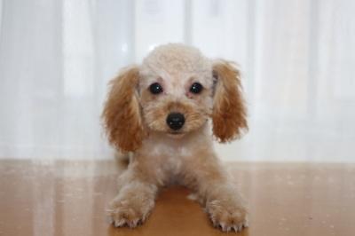 トイプードルアプリコットの子犬メス、生後4ヶ月