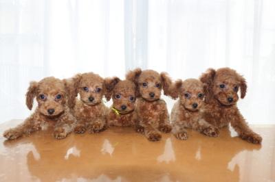 トイプードルレッドの子犬オス4頭メス2頭、生後2ヶ月画像