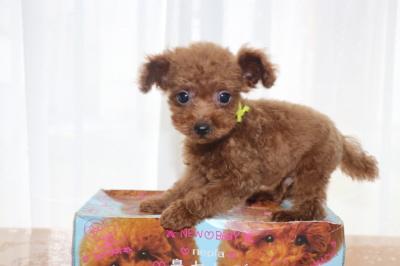 ティーカッププードルレッドの子犬オス、生後2ヶ月画像