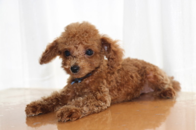 トイプードルレッドの子犬オス、生後2ヶ月画像