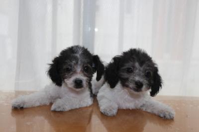 トイプードル白黒パーティーの子犬オス2頭、生後2ヶ月画像