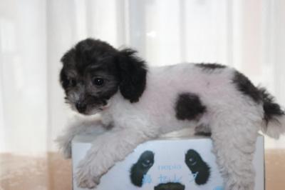 トイプードル白黒パーティーの子犬オス、生後2ヶ月画像