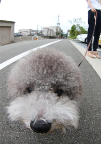トイプードルシルバーオス、福岡県大野城市ロフィ画像