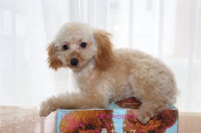トイプードルアプリコットの子犬メス、生後4ヶ月半画像