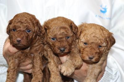 トイプードルレッドの子犬オス2頭アプリコットメス1頭、生後3週間画像