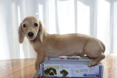 カニンヘンダックスクリームの子犬メス、生後4ヶ月画像