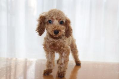 トイプードルレッドの子犬生後3ヶ月画像