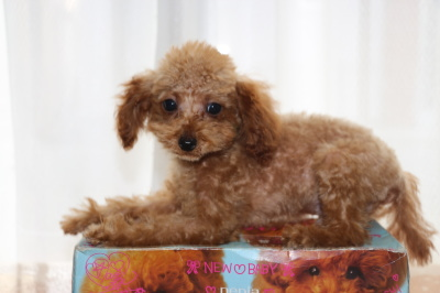 トイプードルアプリコットの子犬オス、生後3ヶ月画像
