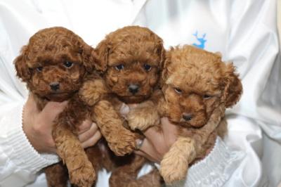 トイプードルレッドの子犬オス2頭アプリコットメス1頭、生後4週間画像