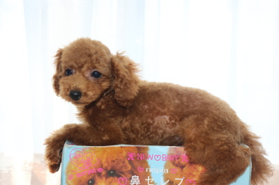 トイプードルレッドの子犬オス、生後3ヶ月画像