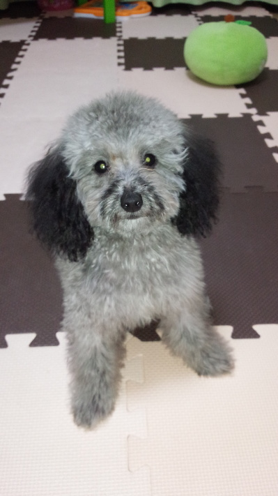 ティーカッププードルシルバーの子犬メス、生後5ヶ月画像