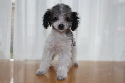 トイプードル白黒パーティーの子犬オス、生後3ヶ月画像