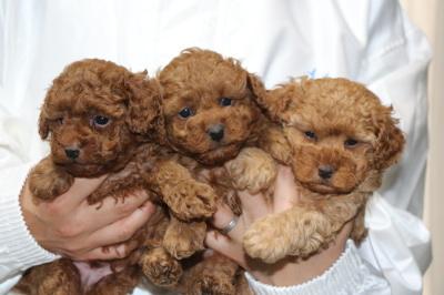 トイプードルレッドの子犬オス2頭アプリコットメス1頭、生後5週間画像