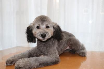 トイプードルシルバーの子犬オス、生後5ヶ月画像