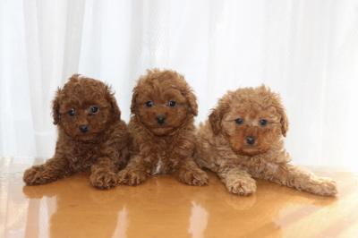 トイプードルレッドの子犬オス2頭アプリコットメス1頭、生後6週間画像