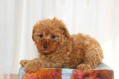 トイプードルの子犬アプリコットメス、生後6週間画像