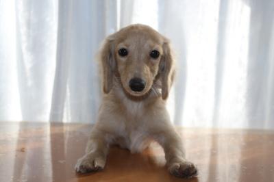 カニンヘンダックスクリームの子犬メス、生後5ヶ月画像