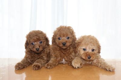 トイプードルレッドの子犬オス2頭アプリコットメス1頭、生後7週間画像