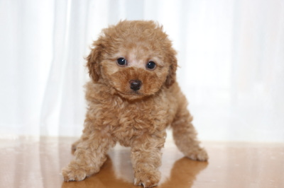 トイプードルの子犬アプリコットメス、生後7週間画像