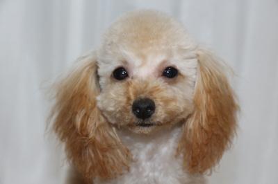 トイプードルアプリコットの子犬メス、生後半年画像
