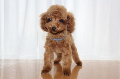 タイニーサイズトイプードルレッドの子犬オス、生後4ヶ月画像