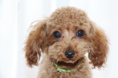 タイニーサイズトイプードルアプリコットの子犬オス、生後4ヶ月画像