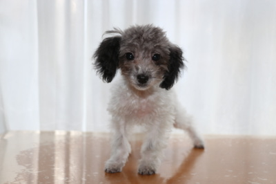 トイプードル白黒パーティーの子犬オス、生後4ヶ月画像