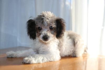 トイプードル白黒パーティーカラーの子犬オス、生後4ヶ月画像