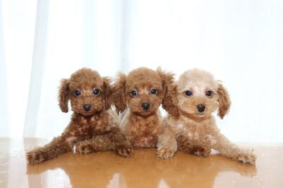 トイプードルレッドの子犬オス2頭アプリコットメス1頭、生後2ヶ月画像