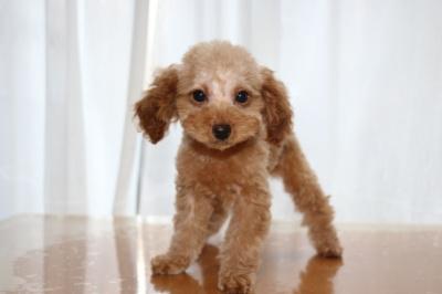 トイプードルアプリコットの子犬、生後2ヶ月画像