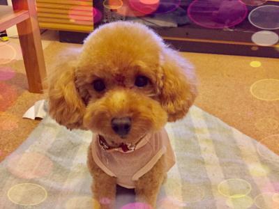 ティーカッププードルアプリコットの子犬メス、東京都江戸川区画像