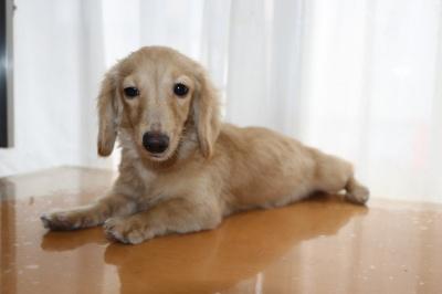 カニンヘンダックスクリームの子犬メス、生後半年画像