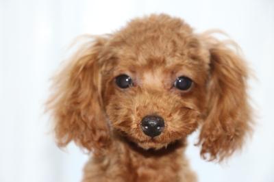 トイプードルレッドの子犬メス、生後5ヶ月画像