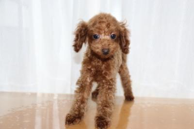 トイプードルレッドの子犬オス、生後5ヶ月画像