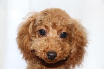 トイプードルの子犬レッドオス、生後5ヶ月画像