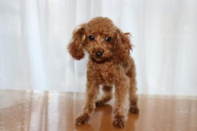 トイプードルアプリコットの子犬オス、生後5ヶ月画像