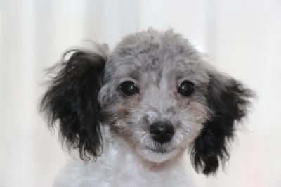 トイプードル白黒パーティーカラーの子犬オス、生後5ヶ月画像