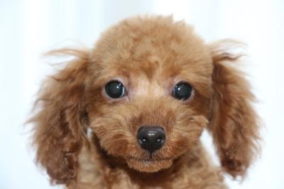 トイプードルレッドの子犬オス、生後100日画像