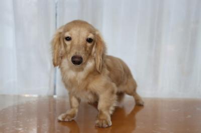 カニンヘンダックスクリームの子犬メス、生後7ヶ月画像