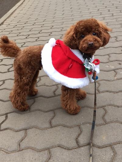 トイプードルレッドの子犬オス、埼玉県さいたま市マックス君画像