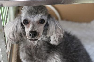 トイプードルシルバー妊娠犬画像