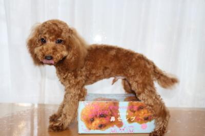 トイプードルレッドの子犬オス、生後半年画像