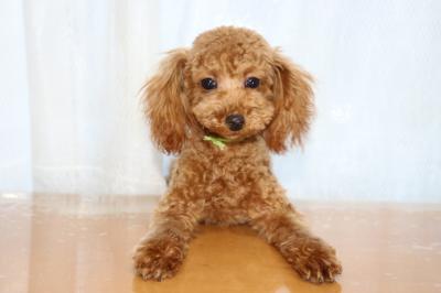 タイニーサイズトイプードルレッドの子犬オス、生後半年画像