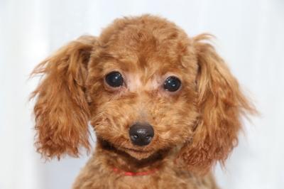 トイプードルレッドの子犬メス、生後半年画像