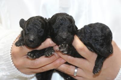トイプードルシルバーの子犬オス2頭メス1頭、生後1週間画像
