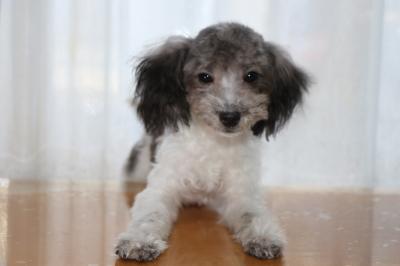 トイプードル白黒パーティーカラーの子犬オス、生後半年画像