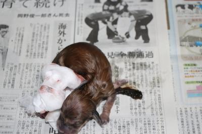ミニチュアダックスクリーム出産の様子画像