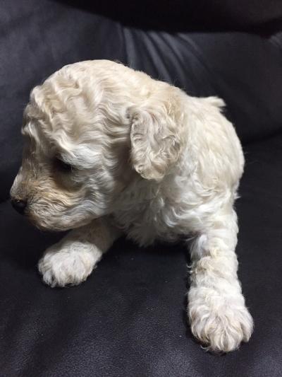トイプードルホワイトの子犬メス、生後5週間画像
