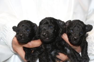 トイプードルシルバーの子犬オス2頭メス1頭、生後2週間画像